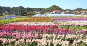 和田町花園地区の花畑