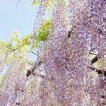 藤(ふじ)の花畑が見れる場所Top3,見頃時期は?