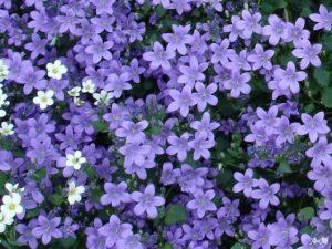 カンパニュラ(紫)