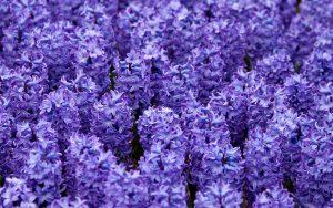 ヒヤシンス(紫)