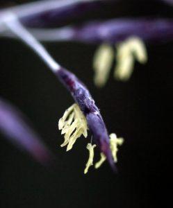 竹の花(笹)