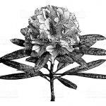花木の王様「シャクナゲ」の花言葉、英語名は?
