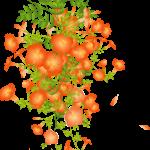 ノウゼンカズラの花言葉、英語名は?花の見た目は?
