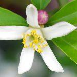 「レモンの花」の英語は4つ!?ネイティブが使うのはどれ?