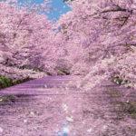桜の「英語名・和名」に隠された驚きの由来とは!?